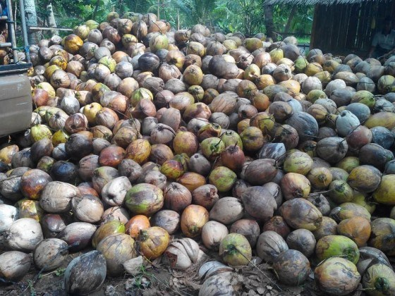 Kokosnuesse für Shisha Naturkohle